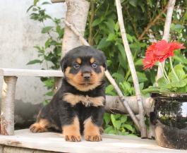 Top Quality Female and Male R.o.t.t.w.e.i.l.e.r puppies 4435122528