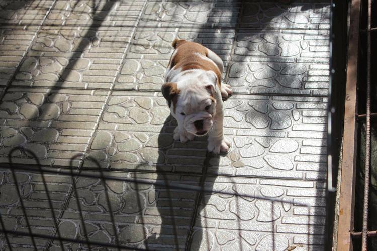 FREE Beautiful Eng.gl.ish Bu.ll.dog Pu.pp.ies Available (678) 909-8515