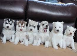 Cute s.b.e.r.i.a.n h.u.s.k.y Puppie.s 5055857795