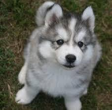 Cute s.b.e.r.i.a.n h.u.s.k.y Puppies 5055857795