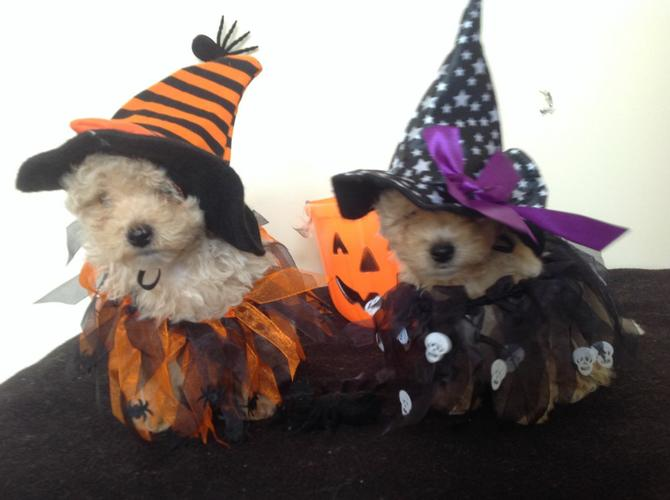 Lovely Male and Female maltipoo Available.