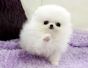 Pomeranianss Puppies Available 719) 982-8517
