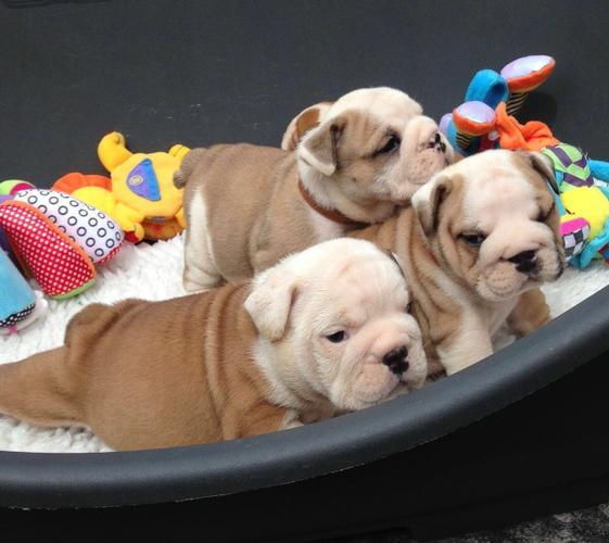 well tamed english bulldog puppies (724) 484-3160