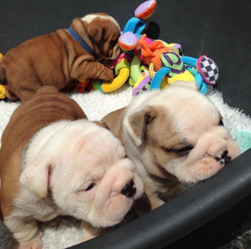 Stunning Bulldog Puppies  7244843160