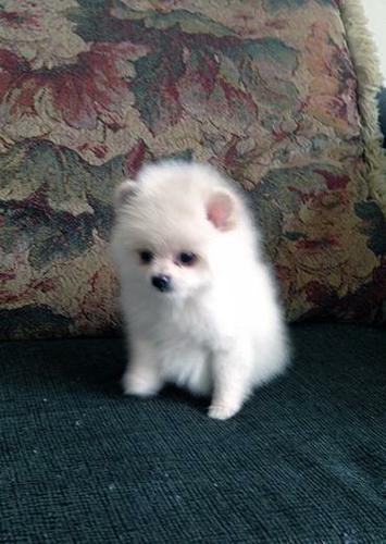 3TeaCup Pomeranianss puppies (203) 587-7698