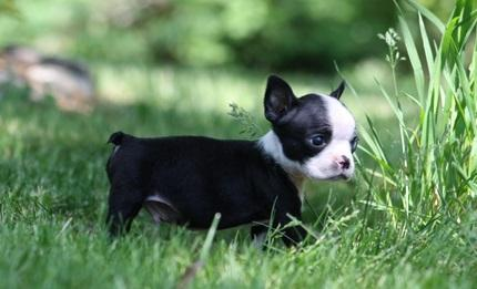 cute B.o.s.t.o.n T.e.r.r.i.e.r puppies for good homes