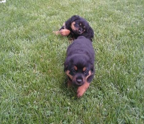 *Top Quality Female and Male R.o.t.t.w.e.i.l.e.r puppies (571) 250-6788