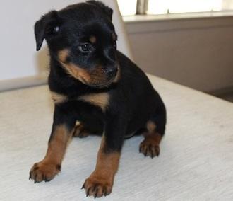 *Top Quality Female and Male R.o.t.t.w.e.i.l.e.r puppies (571) 250-6788