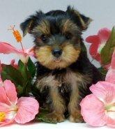 Pretty Female and Male Tea Cup Y.O.R.K.I.E puppies contact us 5.1.6.6.9.9.2.6.2.3