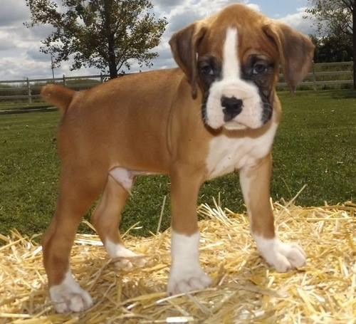 Boxer pups for rehoming