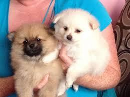 Free  G.orgeous. POM. Pu.ppies  Need Home//////jonesemilie07@gmail.com