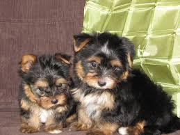 Gorgeous Tea-cup Yorkies Pu.ppies ) Need Hom  (702)500-2250