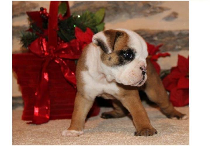 Quality English Bulldogs Puppies:contact us at(410) 424-6120
