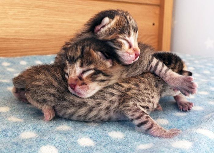 Cute Savannahs Kittens