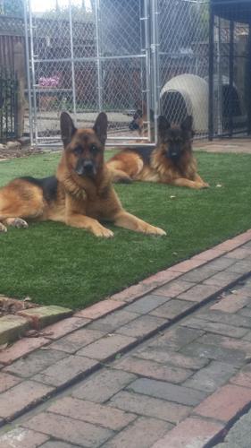 German Shepherd Puppies (Champion Show Line)