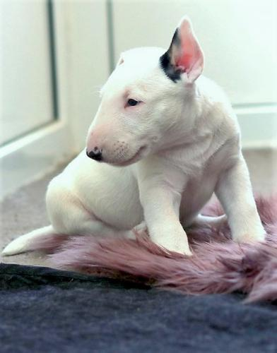 Stunning quality Bull Terrier Puppies,