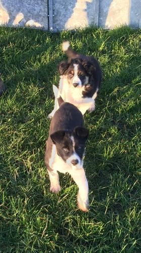 Registered Male And Female Border Corli Puppies For Adoption