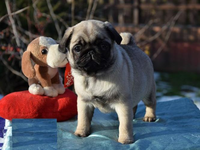 adorable pug puppy ready for adoption and rehoming.