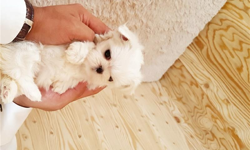 Teacup Maltese Puppy Female/Male Available.