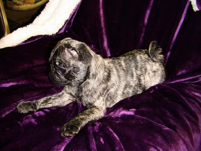 PennySaver | California Pug Puppies Delivered in Humboldt ...