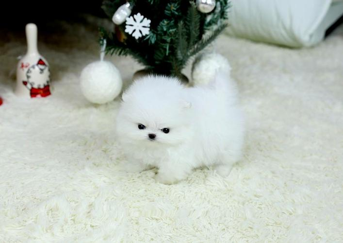 Pomeranianss Puppies Available