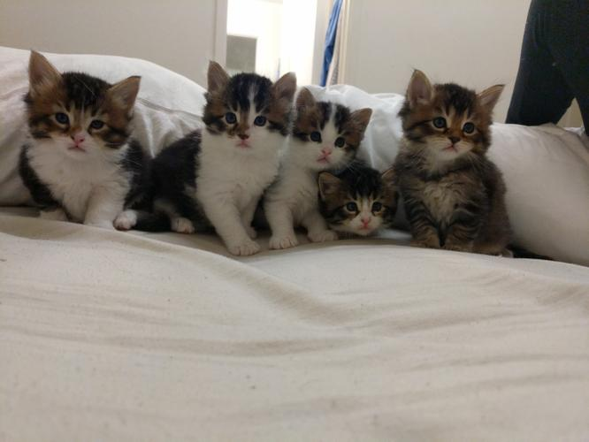 Purebred Gorgeous Maine Coon Kittens