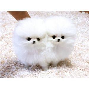 Male and Female Pomeranianss Puppies Available (518) 300-3085