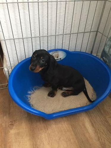 3 miniature dachshund puppies for adoption