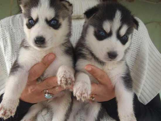 Quality Siberians Huskys Puppies:contact at (443) 805-6062