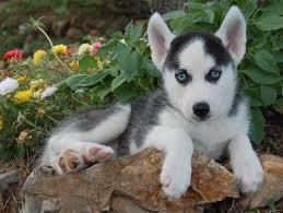??? FREE  Blue Eyes male and female Siberi.a.n hus.k.y Pu.ppies ) Need Hom ??? (707) 840-8141.