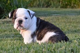 FREE CUTE TEA CUP Englishh Bulldoggs P.u.p.p.i.e.s for Loving Homes!!!(443) 304-8284