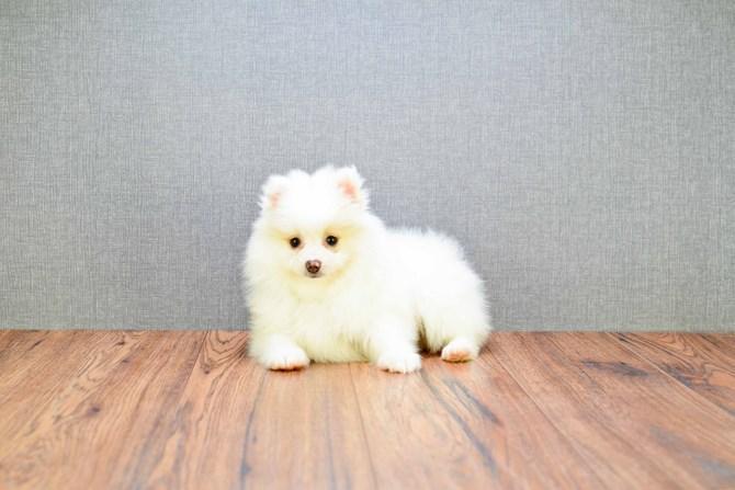 *Top Quality Pomeranianss... puppies*