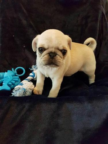 ???T.R.A.I.N.E.D??REGISTERED...????Pugs????Pu.ppies fREE???? (347 363 7250