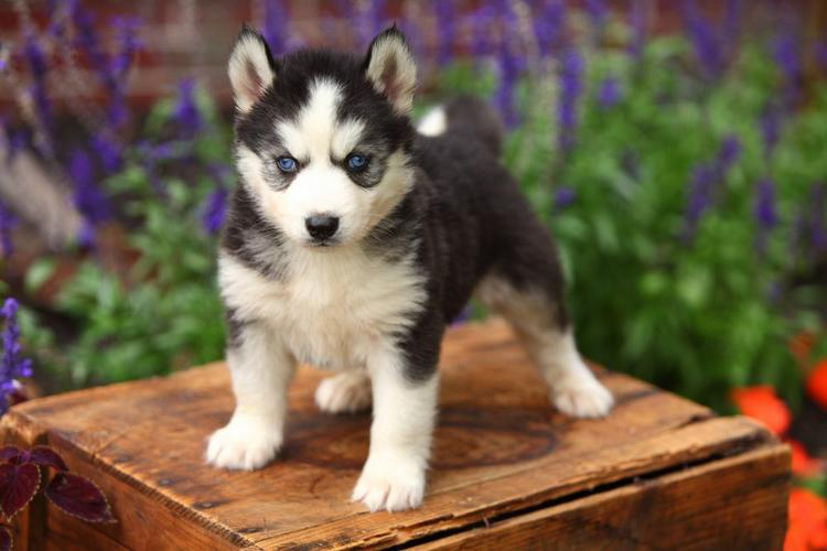 Quality siberians huskys Puppies:contact us at (307) 223-9590