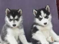 CUTIE S.I.B.E.R.I.A.N H.U.S.K.Y Puppies: contact us at (240) 343-7096