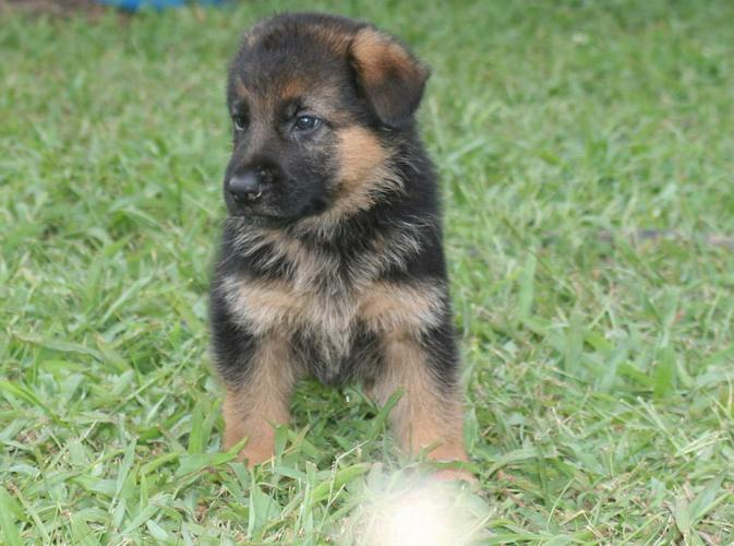 Healthy    G.e.r.ma.n    S.h.e.p.h.e.r.d   Puppies for adoption....(704) 885-6373