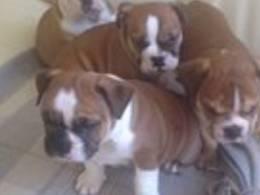 Affectionate M/F English B.u.l.l.d.o.g Puppies!!!415 675 1744