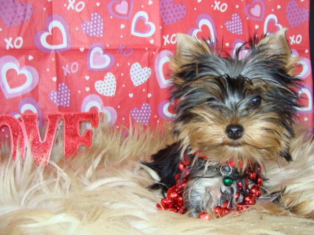 Healthy Teacup Yorkie Puppies Available