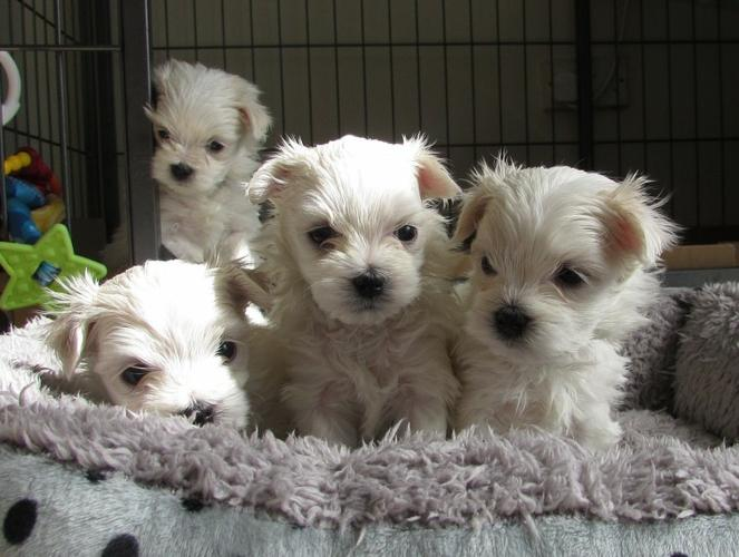M.a.l.t.e.s.e Pups for Re- homing:....  267--281--4166