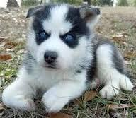 Free Blue Eyes Gorgeous Puppies(Not For Sell Free) Need Home(443) 377-3443