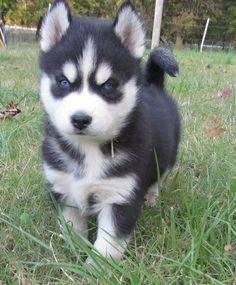 FREE Quality siberians huskys Puppies:contact us at (440)-490-6115