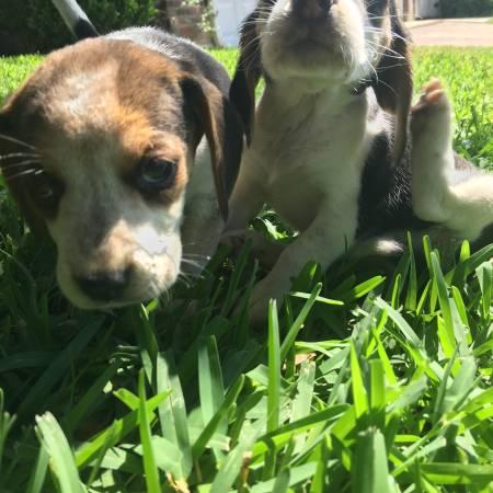!!@#SWEET BEAGLES PUPPIES: FOR GOOD HOMES !!#@contact us