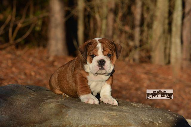 Quality Englishs  Bulldogs Puppies:contact us at (202)697-8431