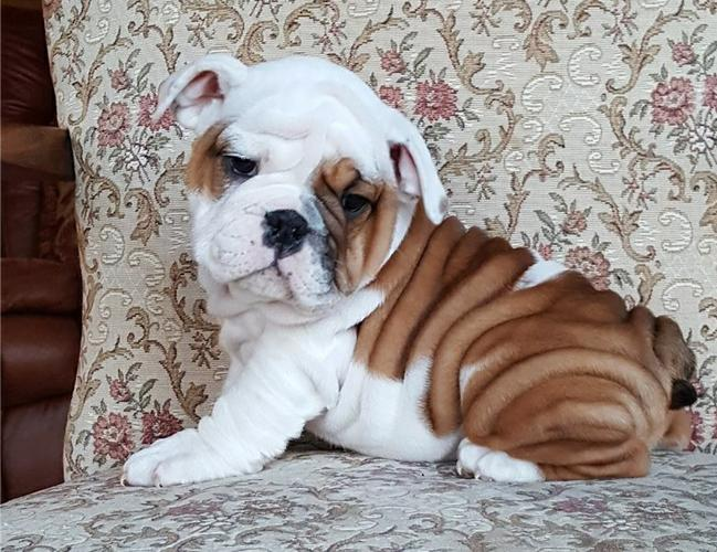 Cheap Adorable English Bulldog Puppies