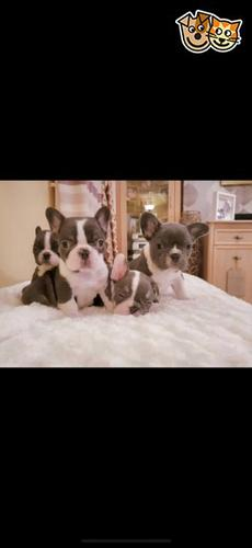 Well Trained French Bulldog Puppies Available For Sale Online at...http://primedachshundpuppies.com/