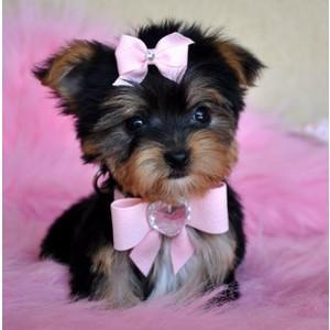 Headline cuties Yorkies Babies available for sale now akc
