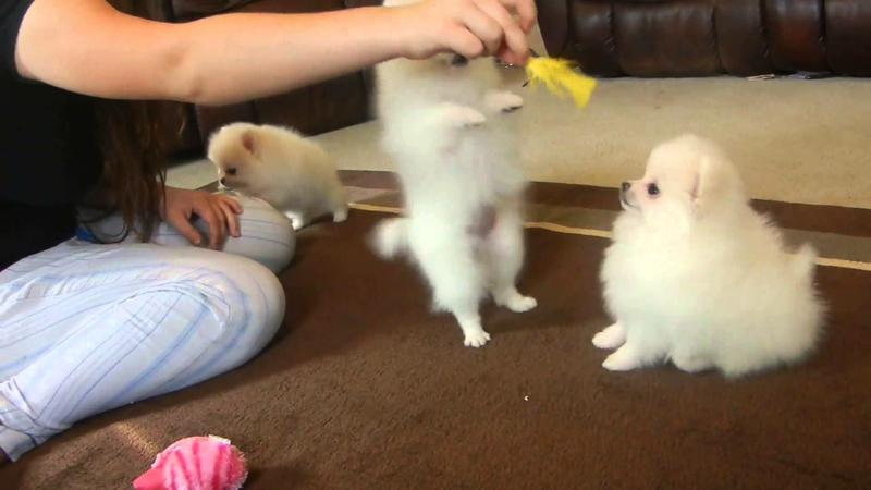 Healthy POMERANIAN  Puppies: Fell free to contact (512) 553-3823