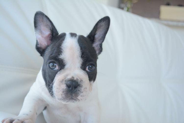 czgfdsaBlue  F.R.E.N.C.H  B.U.L.L D.O.G  puppies!!!701 X314 X2771