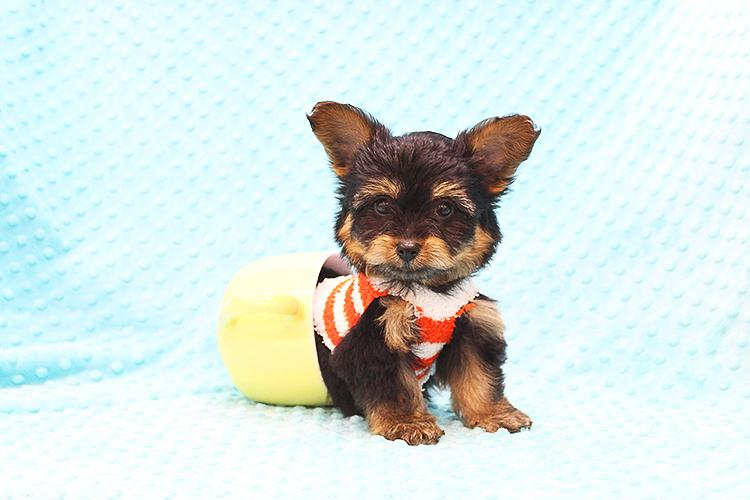 Pennysaver Adorable Toy Yorkie Puppy In Orange California Usa
