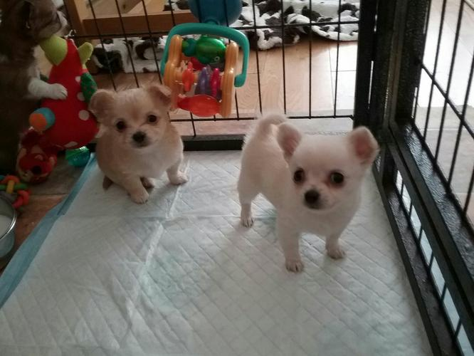 Adorable AKC Registered Male and Female Chihuahua Pups